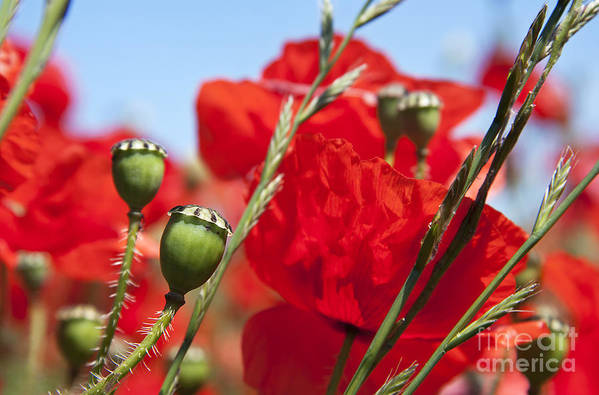 Agriculture Poster featuring the photograph Poppy Pods by Jane Rix