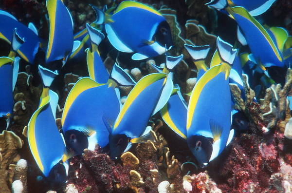 Acanthurus Leucosternon Poster featuring the photograph Powderblue Surgeonfish by Georgette Douwma
