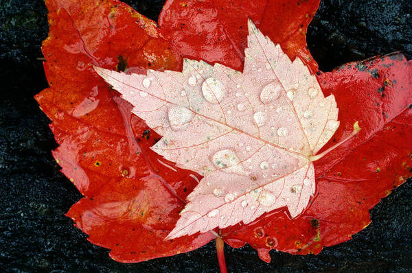 Autumn Poster featuring the photograph Red Maple Leaves by Mike Grandmailson