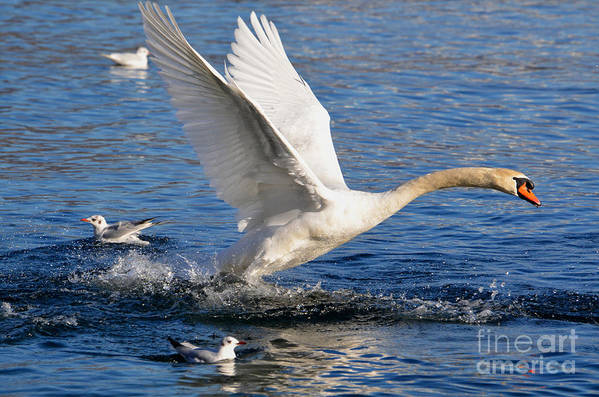 Swan Poster featuring the photograph Swan Take Off by Mats Silvan