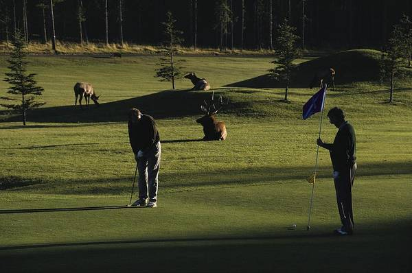 North America Poster featuring the photograph Two People Play Golf While Elk Graze by Raymond Gehman