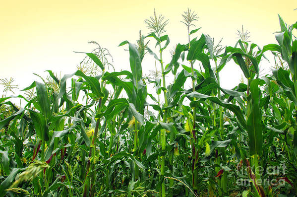 Agriculture Poster featuring the photograph Corn Field by Carlos Caetano