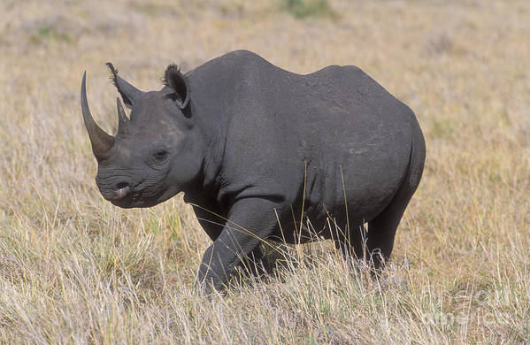 Rhinoceros Poster featuring the photograph Black Rhino On The Masai Mara by Sandra Bronstein