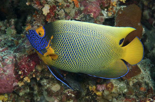 Angel Poster featuring the photograph Blue Face Angelfish by Steve Rosenberg - Printscapes