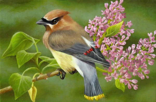 Cedar Waxwing Poster featuring the painting Cedar Waxwing On Lilac by Karen Coombes