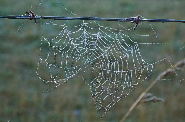 Spider Poster featuring the photograph Dew On The Web by Douglas Barnett