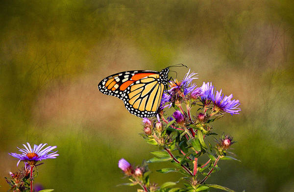 Butterfly Poster featuring the photograph Monarch Butterfly In The Afternoon Sun by James Steele