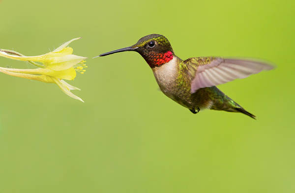 Ruby Poster featuring the photograph Ruby-throated Hummingbird by Mircea Costina Photography