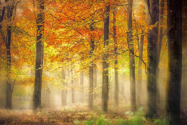 Woodland Poster featuring the photograph Autumn Gold by Ian Hufton