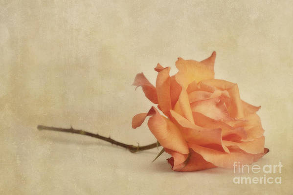 Rose Poster featuring the photograph Bellezza by Priska Wettstein