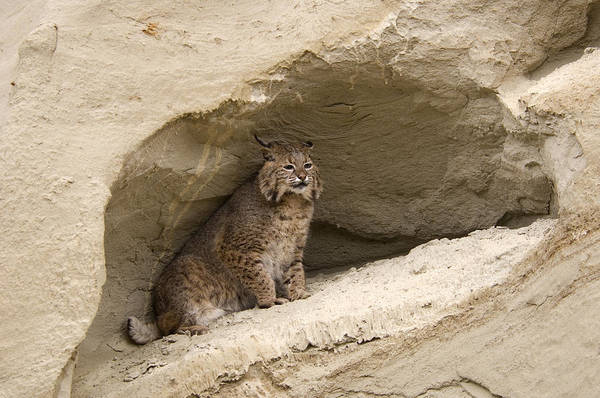 Cat Poster featuring the photograph Bobcat Felis Rufus by Carol Gregory