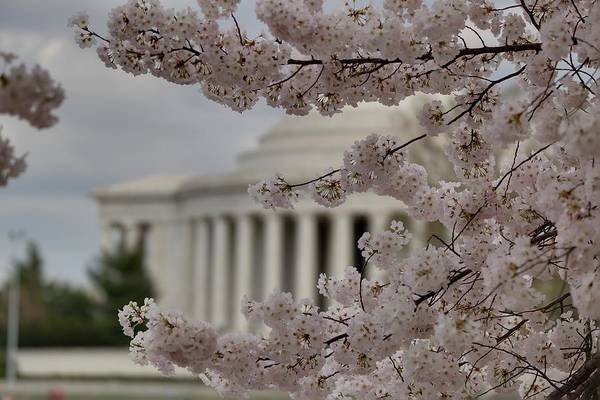 America Poster featuring the photograph Cherry Blossoms With Jefferson Memorial - Washington Dc - 01133 by DC Photographer
