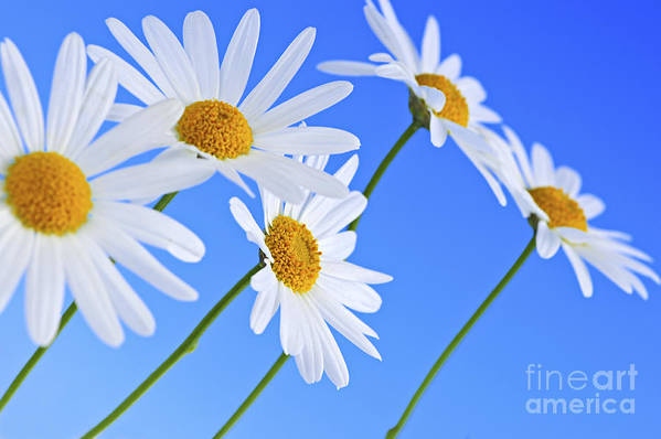 Daisy Poster featuring the photograph Daisy Flowers On Blue Background by Elena Elisseeva