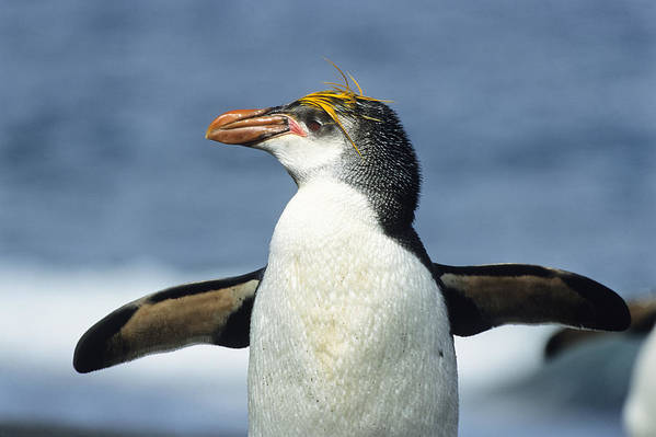 Feb0514 Poster featuring the photograph Royal Penguin Macquarie Isl Antarctica by Konrad Wothe