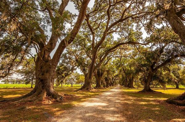 Evergreen Plantation Poster featuring the photograph The Lane by Steve Harrington