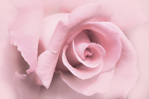 Rose Poster featuring the photograph Blushing Pink Rose Flower by Jennie Marie Schell