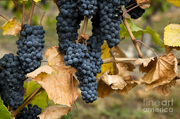 Agriculture Poster featuring the photograph Gamay Noir Grapes by Kevin Miller