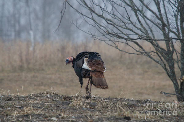 Eastern Wild Turkey Poster featuring the photograph Male Eastern Wild Turkey by Linda Freshwaters Arndt