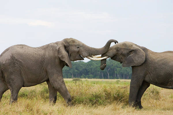 African Elephant Poster featuring the photograph African Elephant Bulls Fighting by Suzi Eszterhas