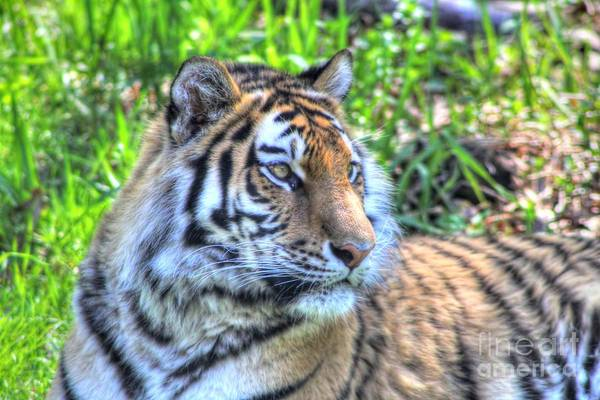 Amur Tiger Poster featuring the photograph Amur Tiger 5 by Jimmy Ostgard