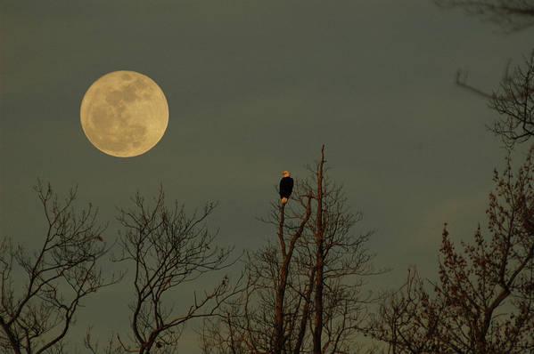 Bald Eagle Watching The Full Moon Rise Poster featuring the photograph Bald Eagle Watching The Full Moon by Raymond Salani III