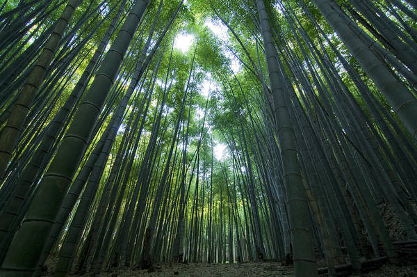 Bamboo Poster featuring the photograph Bamboo Forest by Aaron S Bedell