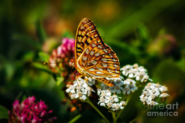 Butterfly Poster featuring the photograph Beautiful Butterfly by Robert Bales