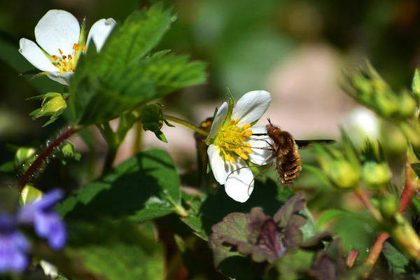 Bee Fly Poster featuring the photograph Bee Fly On White Flowers by Christina Rollo