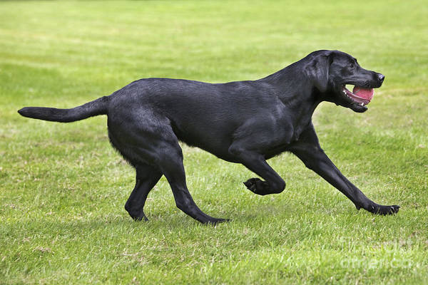 Labrador Retriever Poster featuring the photograph Black Labrador Playing by Johan De Meester