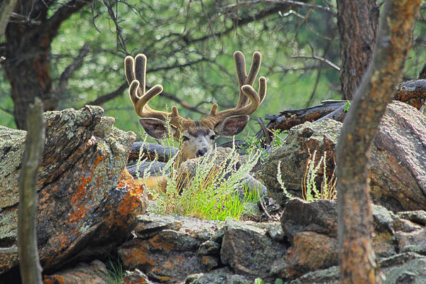 Deer Poster featuring the photograph Blending In by Shane Bechler