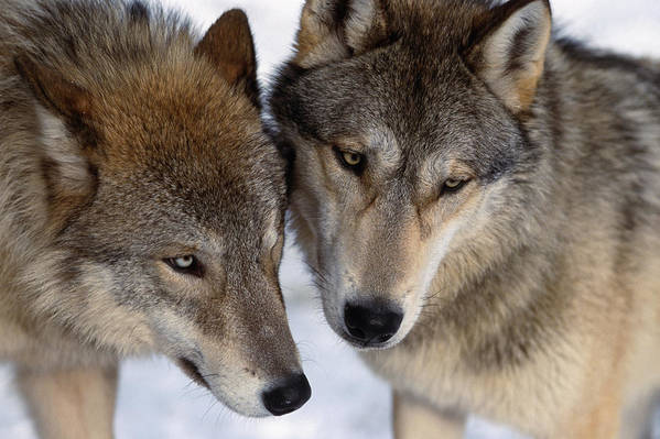 Kazlowski Poster featuring the photograph Captive Close Up Wolves Interacting by Steven Kazlowski