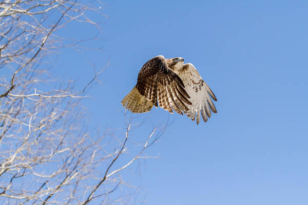 Redtail Hawk Poster featuring the photograph Catching The Sun by Bill Wakeley