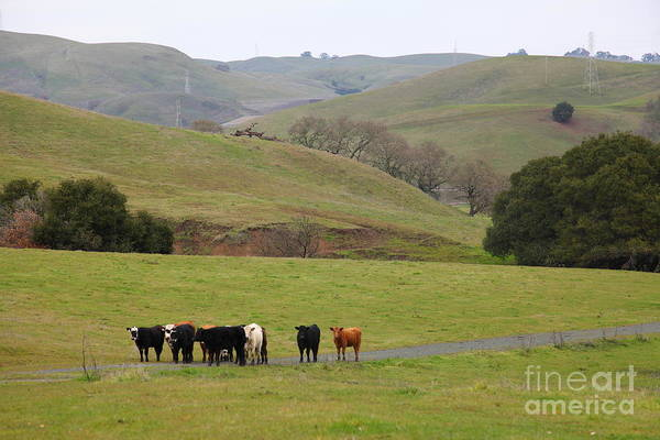 Animal Poster featuring the photograph Cattles At Fernandez Ranch California - 5d21062 by Wingsdomain Art and Photography