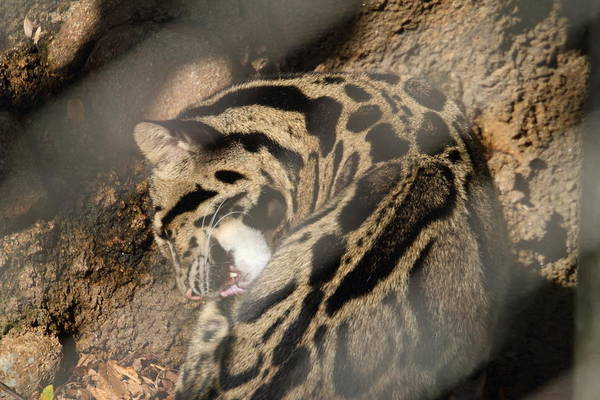 National Poster featuring the photograph Clouded Leopard - National Zoo - 01134 by DC Photographer