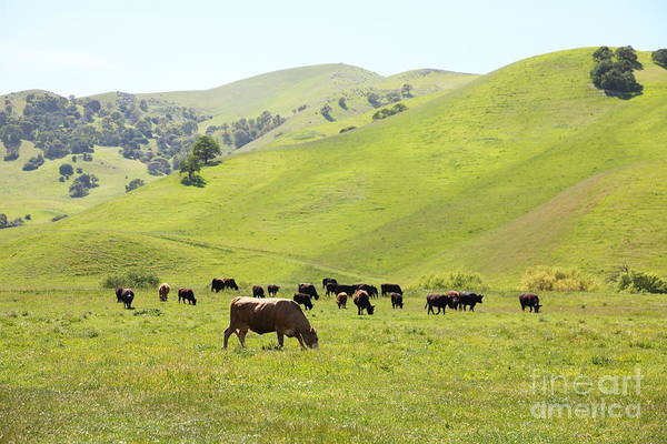 Bayarea Poster featuring the photograph Cows Along The Rolling Hills Landscape Of The Black Diamond Mines In Antioch California 5d22328 by Wingsdomain Art and Photography