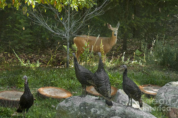 Animal Poster featuring the photograph Deer And Wild Turkeys by Ron & Nancy Sanford