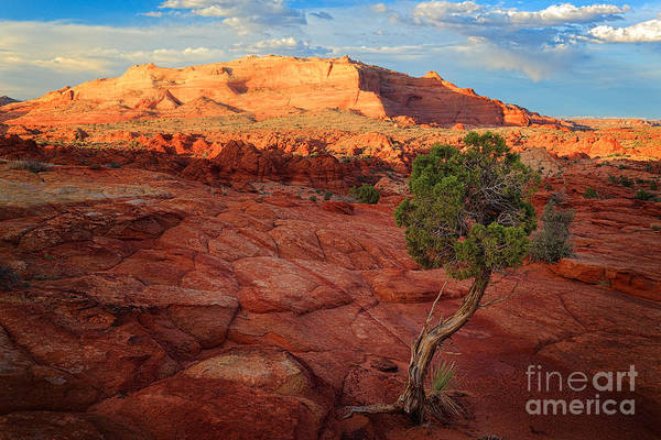 America Poster featuring the photograph Desert Juniper by Inge Johnsson