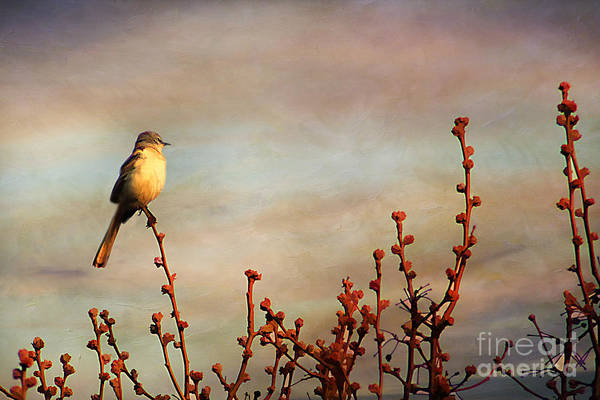 America Poster featuring the photograph Evening Mocking Bird by Darren Fisher