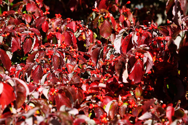 Autumn Poster featuring the photograph Fall Foliage Colors 08 by Metro DC Photography