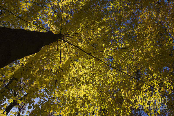 Arboretum. Fall Poster featuring the photograph Fall Maple by Steven Ralser