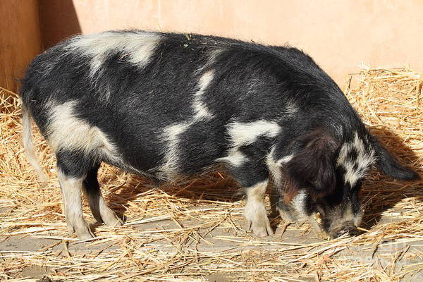 Animal Poster featuring the photograph Farm Pig 7d27356 by Wingsdomain Art and Photography