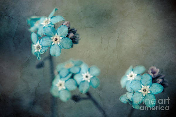 Blue Poster featuring the photograph Forget Me Not 01 - S22dt06 by Variance Collections