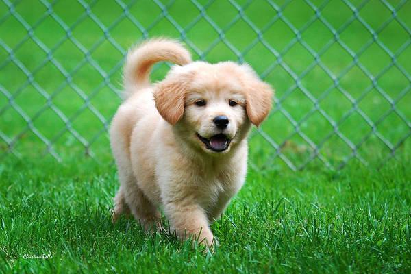 Golden Retriever Poster featuring the photograph Golden Retriever Puppy by Christina Rollo
