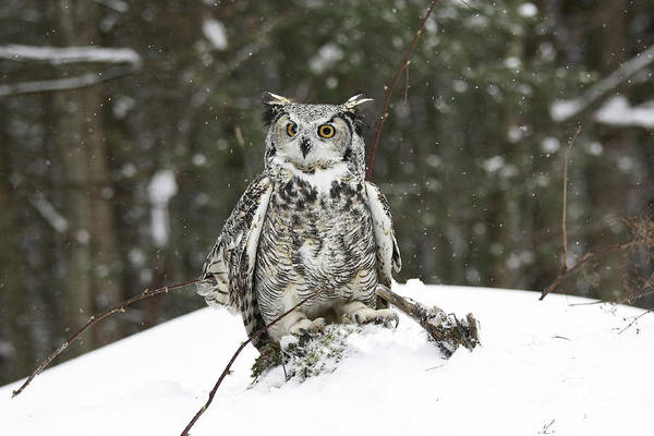 Great Horned Owl In A Winter Snow Storm Poster featuring the photograph Great Horned Owl In A Winter Snow Storm by Inspired Nature Photography Fine Art Photography