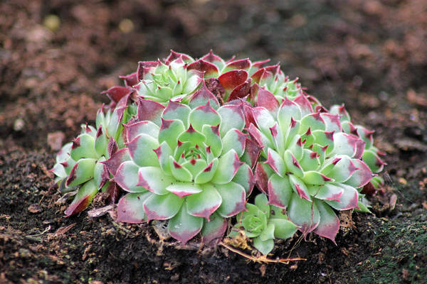 Succulents Poster featuring the photograph Hen And Chicks by Tony Murtagh