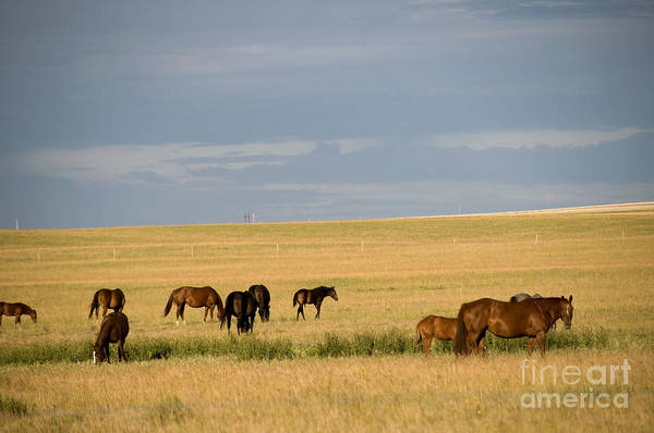 Saskatchewan Prairie Poster featuring the photograph Horses In Saskatchewan by Mark Newman