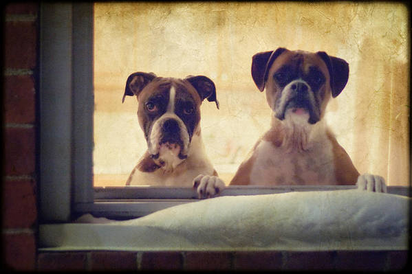 Boxer Poster featuring the photograph How Much Is That Doggie In The Window? by Stephanie McDowell