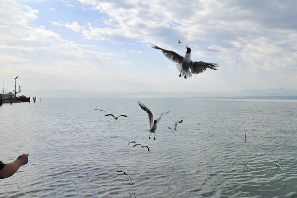 Seagulls Poster featuring the photograph Hungry Seagulls Flying In The Air by Matthias Hauser