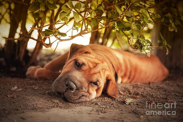 Dog Poster featuring the photograph In The Shade by Jane Rix
