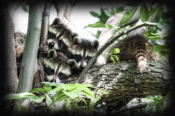 Raccoons Poster featuring the photograph Little Rascals by Jeff Swanson